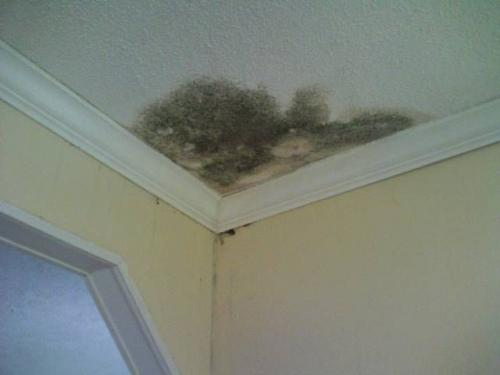 Classic black mold breeding in the corner of the ceiling, close to pipes